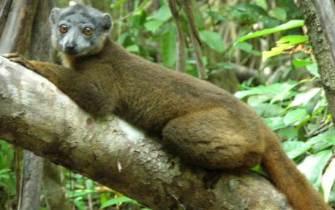 Ankarabolava-Agnakatrika_lemur