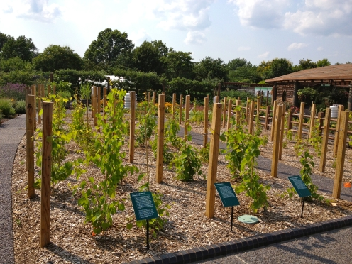 Research Vineyard in the Kemper Center for Home Gardening. (Large photo) The research vineyard was funded in part by the Saint Louis University Center for Sustainability. Photo by Rebecca Hensiek