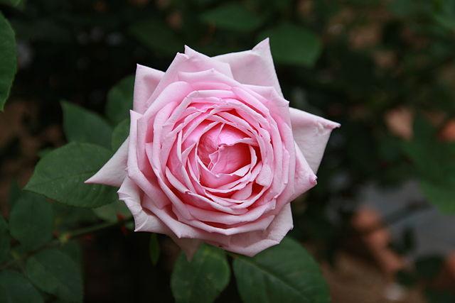 640px-Rosa_'La_France'