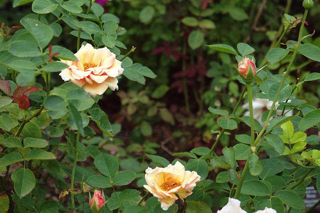 640px-Rosa_'Pearlie_Mae'