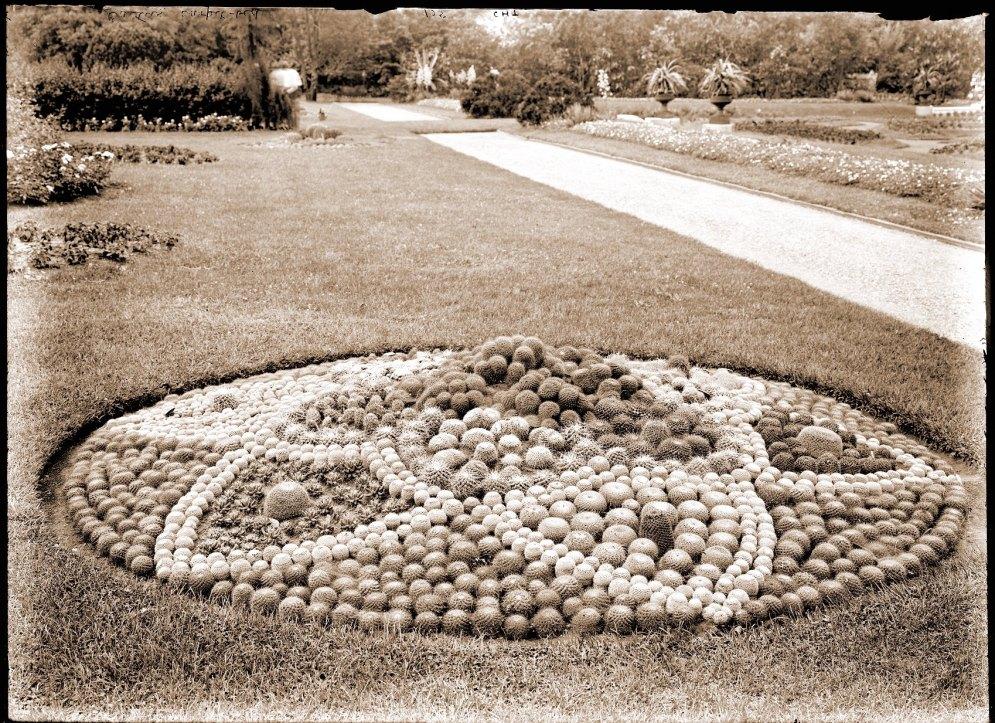 Mamillaria bed in parterre of the Missouri Botanical Garden (1905)