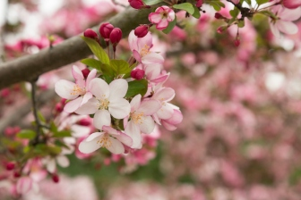 FloweringCrabapple_20170331_001