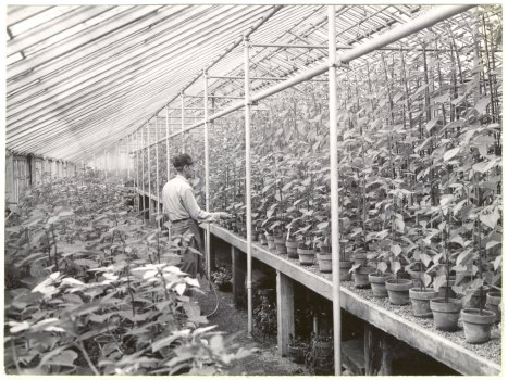 A Garden staffer tends to poinsettias in the greenhouse, circa 1953. Photo from MBG Digital Archives.
