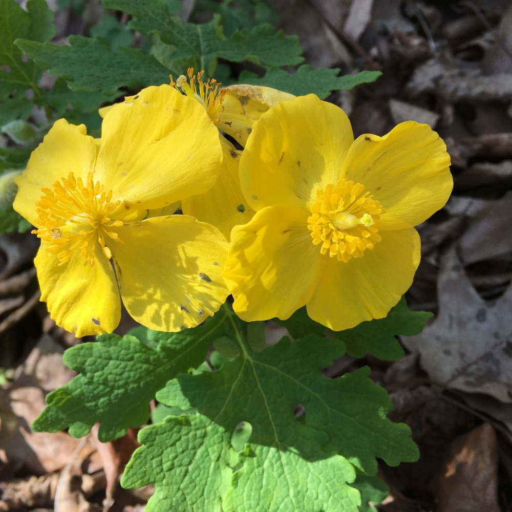 Stylophorum_diphyllum celendine poppy restricted to North America photo C. Ulloa
