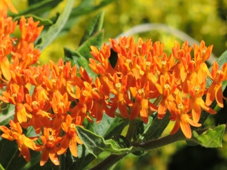 Butterfly weed (Asclepias tuberosa) Photo by Tom Incrocci