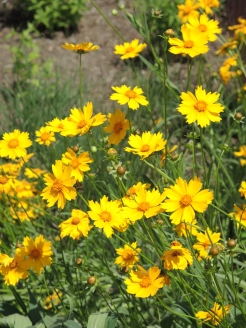 Lanceleaf coreopsis (Coreopsis lanceolata) Photo by Tom Incrocci