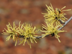 Common witch hazel (Hamamelis virginiana) Photo by Tom Incrocci