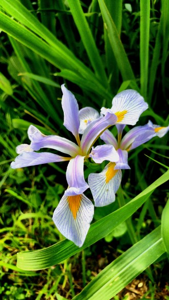 Southern blue flag (Iris virginica) Photo by Steve Frank