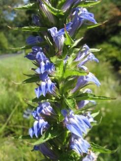 Blue cardinal flower (Lobelia siphilitica)