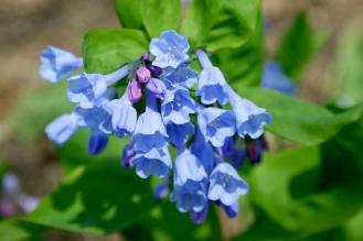 Bluebells (Mertensia virginica)