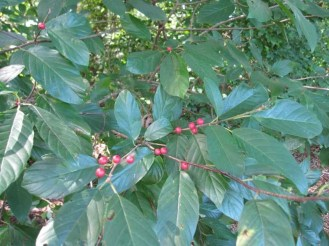 Carolina buckthorn (Rhamnus caroliniana)