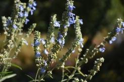 Blue sage (Salvia azurea) Photo by Sundos Schneider