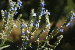 Blue sage (Salvia azurea) Photo by Sundos Schneider