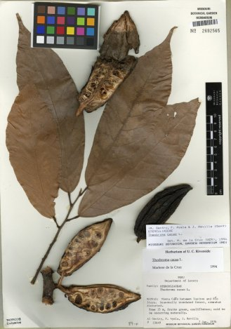 An herbarium voucher of Theobroma cacao