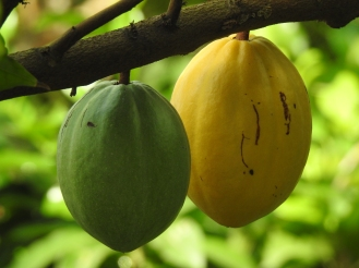 Pods on a cacao tree in the Climatron. Photo by Tom Incrocci