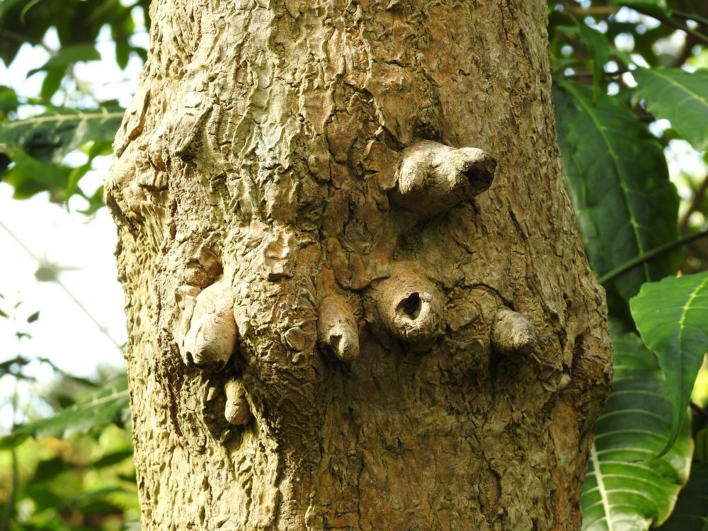 Bark of the Dracaena tree, Dracaena reflexa