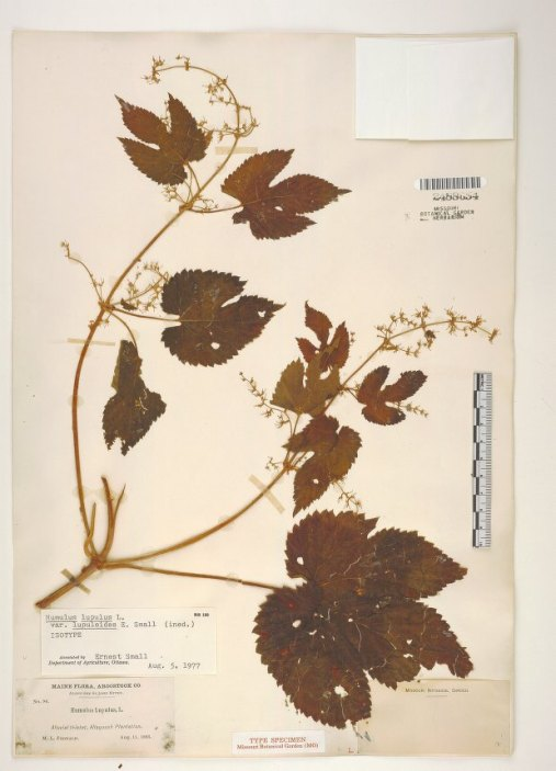 An herbarium voucher for Humulus lupulus var. lupuloides. This specimen was collected in Maine in 1893.