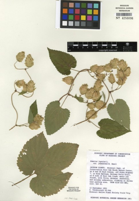 An herbarium voucher for Humulus lupulus var. pubescens. This specimen was collected in the woods near Kansas City in 1992.