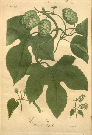 This image of Humulus lupulus appears in American medical botany, by Jacob Bigelow (1820).