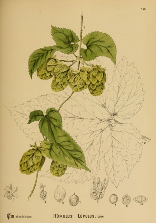 This image of Humulus lupulus appears in American medicinal plants, by Charles Frederick Millspaugh (1887). The digitized image is from the NC State Library, but Garden has several copies in its general collection.