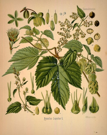This image of Humulus lupulus appears in Köhler's Medicinal Plants, a German herbal published around the turn of the 19th century.