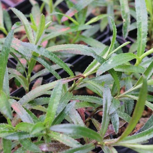 Nesocodon mauritainus growing in a propagation greenhouse at the Missouri Botanical Garden.