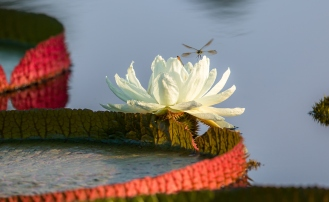 A dragonfly hovers above the flower of Victoria amazonica. Photo: Kent Burgess