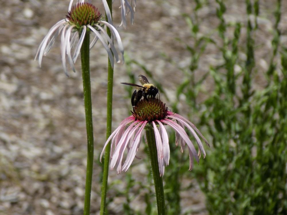 Carpenter Bee on Coneflower
