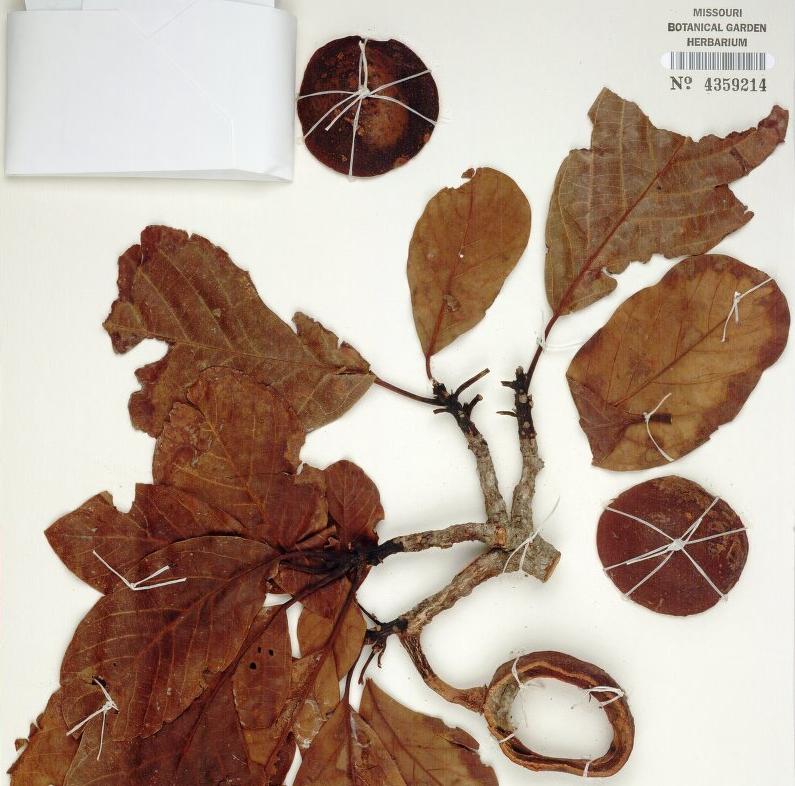 Avocado Herbarium