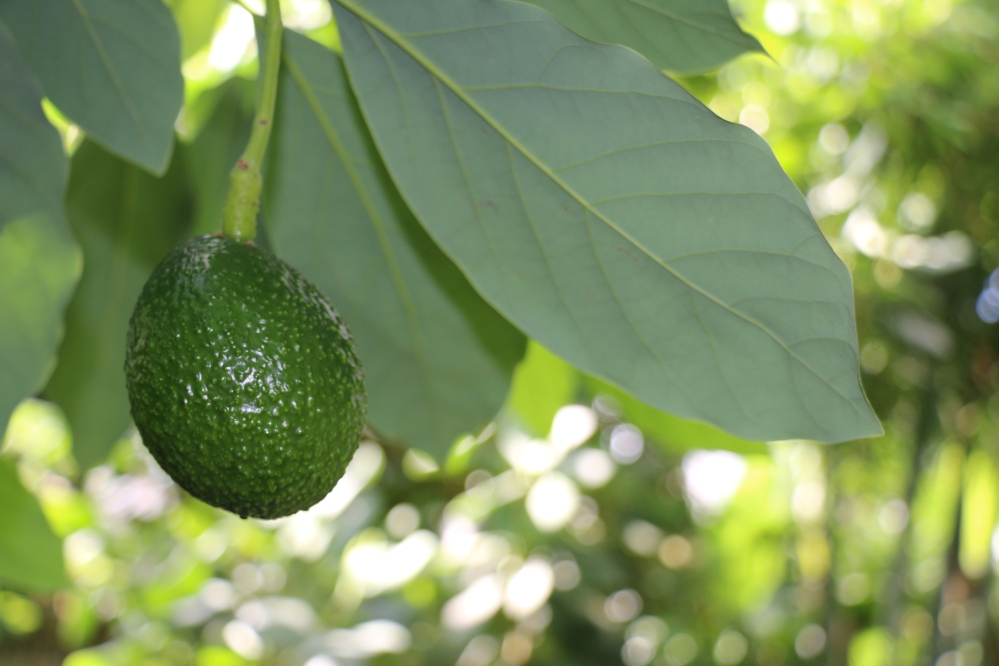 Avocado 'Whitsell'