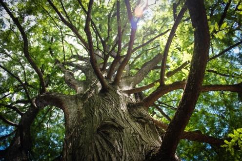1874 Bald cypress pictured in June 2016. Photo by Elizabeth Harris.