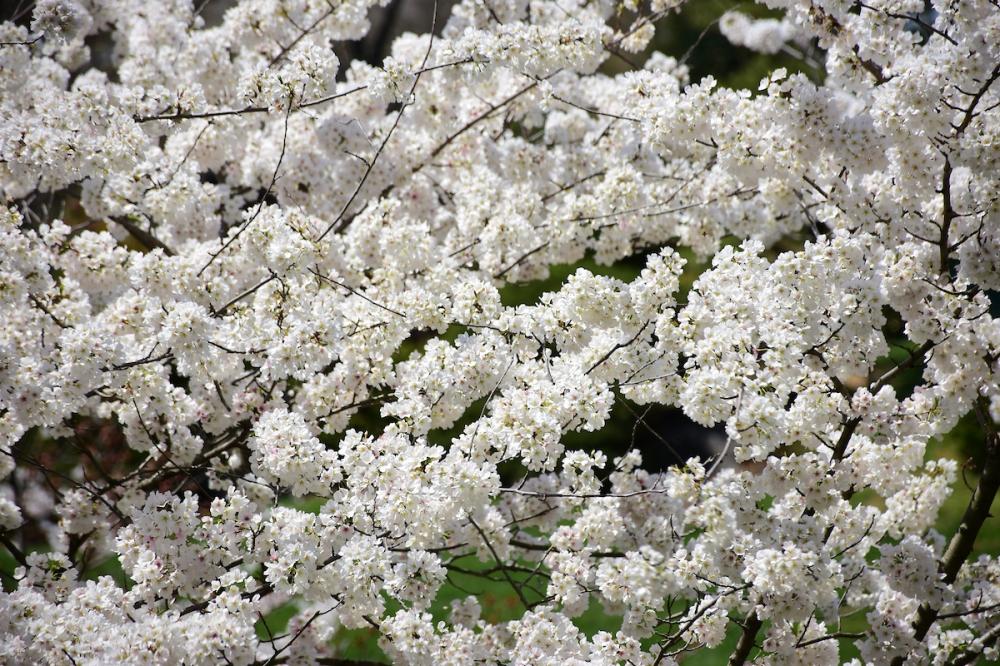 CherryBlossom_04_SundosSchneider_05