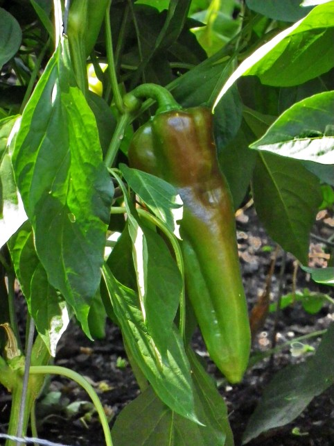 Capsicum annuum 'Carmen' sweet bell pepper. Photo by Tom Incrocci.