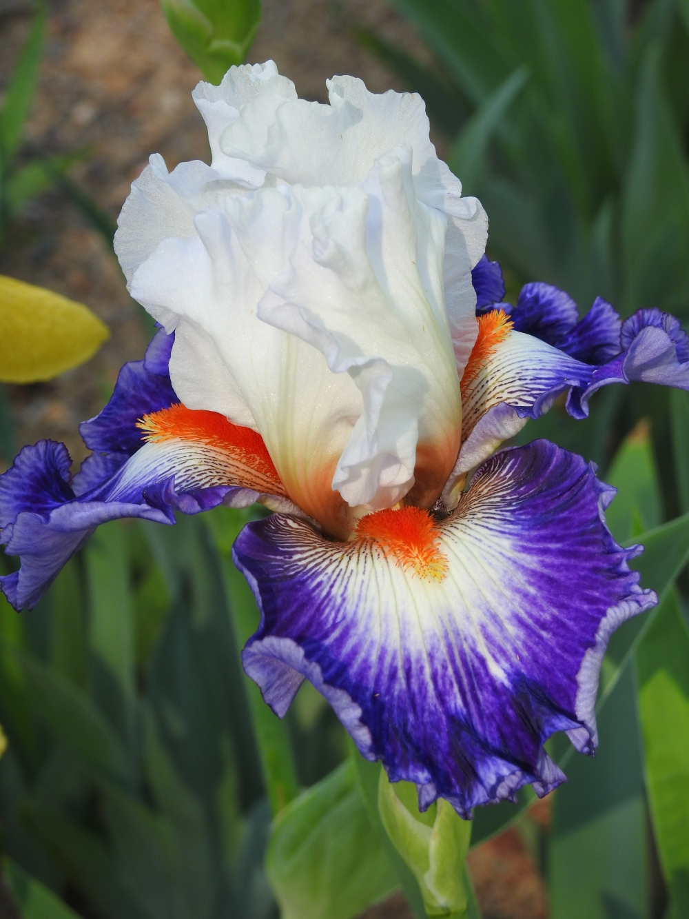 Tall bearded iris, Iris 'Gypsy Lord'
