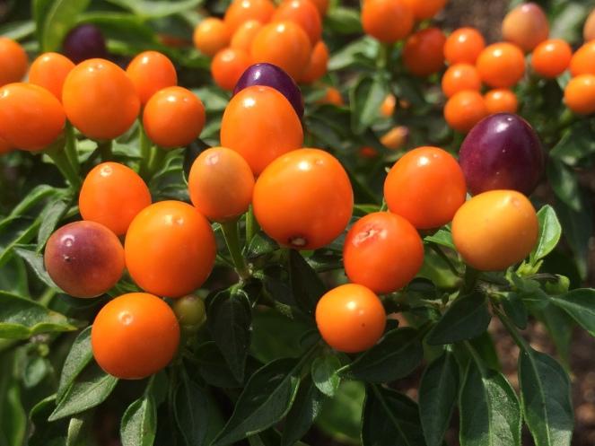 Capsicum annuum 'hot pops purple'