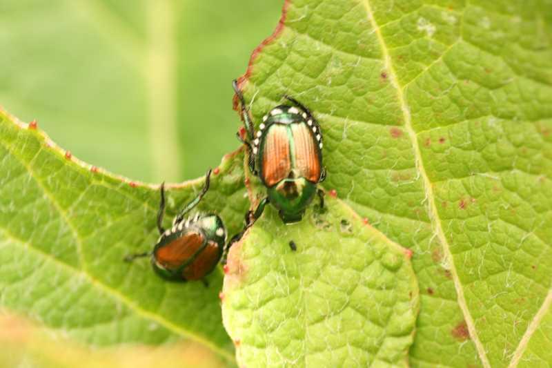 Japanese_Beetle1519
