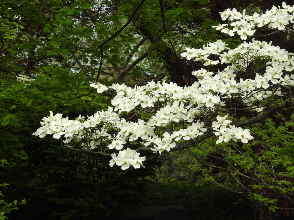 Flowering dogwood, Cornus florida