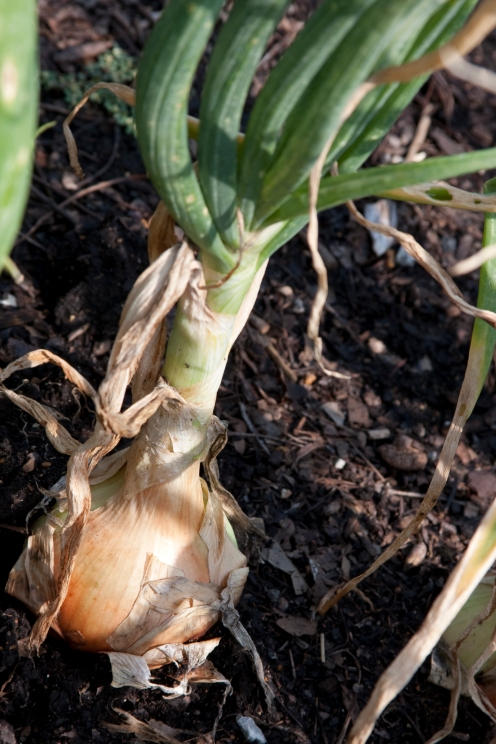 An onion ready for harvest in the Kemper Center for Home Gardening.