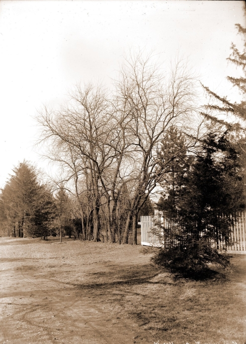 A line of young Osage orange trees at the Garden in 1891. Photo from Missouri Botanical Garden archives.