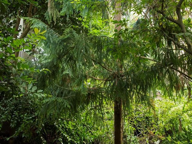 Temp House Pine