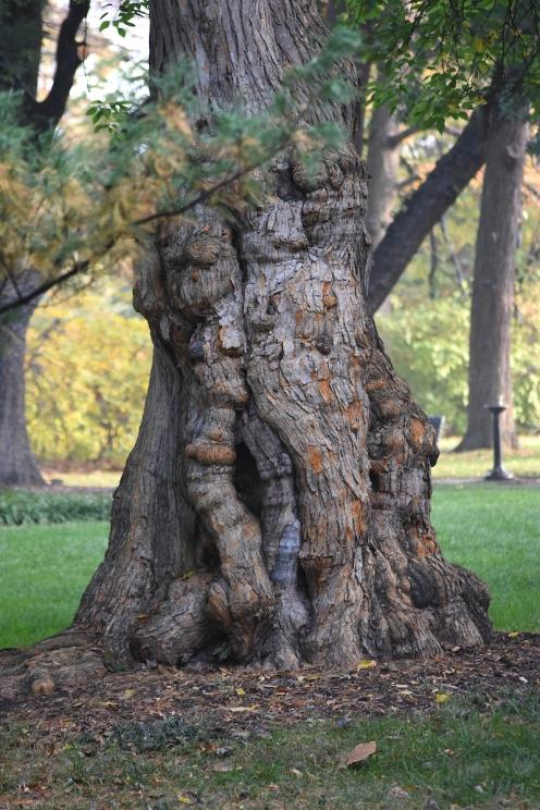 An Osage orange tree at the Missouri Botanical Garden. Photo by Sundos Schneider.