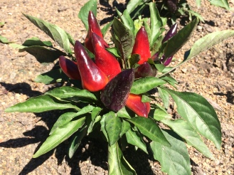 Capsicum annuum 'Wicked'