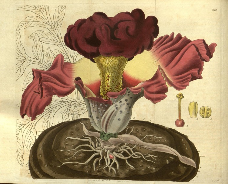 Amorphophallus paeoniifolius from Curtis's Botanical Magazine.