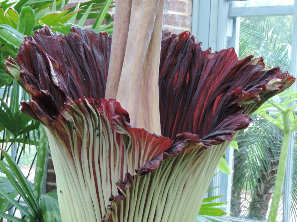Corpse Flower magenta-colored petal expands