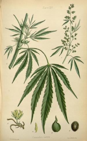 From The flora homoeopathica (1852-1853). Digitized by the Missouri Botanical Garden for Biodiversity Heritage Library.