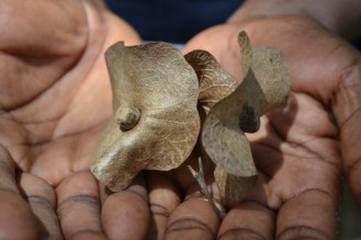 Dried Karomia fruit showing the expanded calyx. Photo from BGCI.