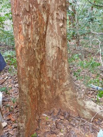 The bark of Karomia gigas.