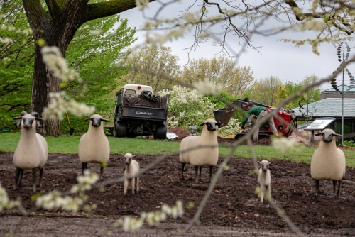 Sheep Move_April 2019_Cassidy Moody-4